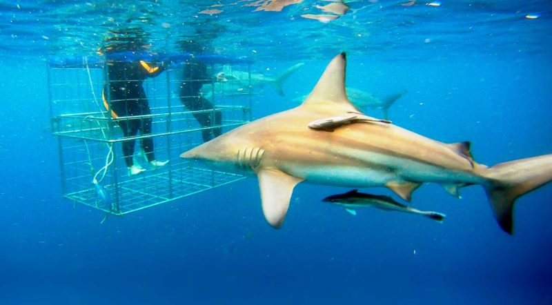 aliwal dive shark cage dive and snorkelling